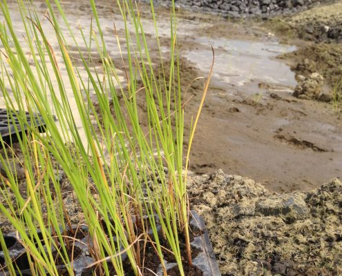 Sotramex - Plantations - Quenouilles - Revégétation